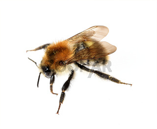 Ackerhummel, Bombus pascuorum, Hummel, Insekt