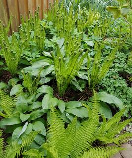 Trichterfarn, Baerlauch; Allium; ursinum
