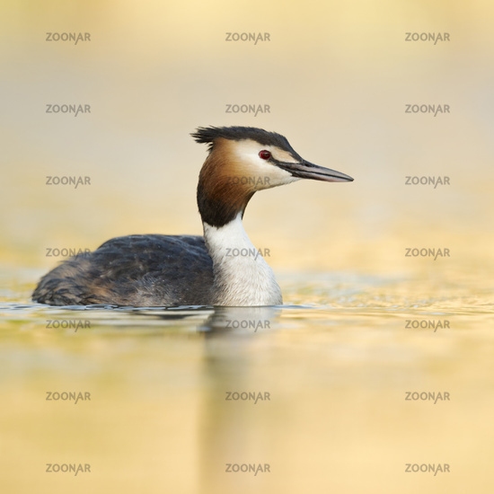 Great Crested Grebe * Podiceps cristatus * swimming on golden water