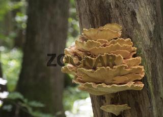 Spring edible mushroom (Laetiporus sulphureus) - grows on the tree, looks like yellow hub.