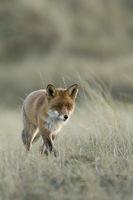 Red Fox * Vulpes vulpes *, hunting