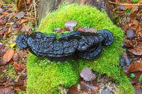 Black bracket fungus on green moss