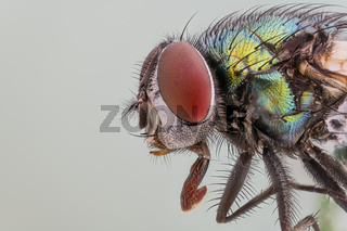 Goldfliege, Lucilia sericata, Green Bottle Fly - Detailed Microscope Stack Extrem
