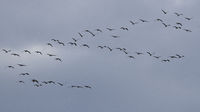 Common Crane flying
