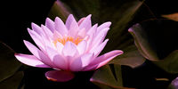 Magic pink water lily flower glowing in romantic moonlight