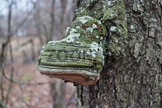 Phellinus Igniarius Mushroom