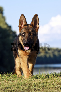 german shepard dog on the nature