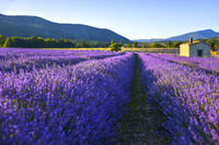 Soft lighted lavender field with hut