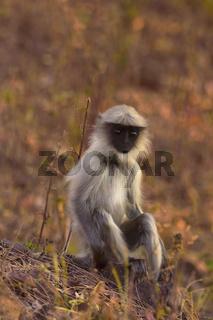 Young Hanuman Langur, Semnopitheaus entellus, Tadoba Tiger Reserve, Maharashtra