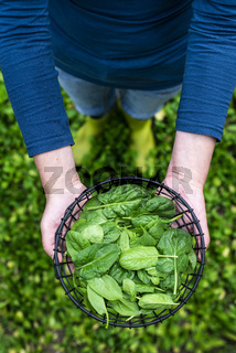 Gardner picking spinach in organic farm
