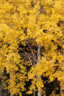 Aspen tree foliage in autumn colors