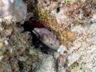 Graue Muräne (Gymnothorax griseus)