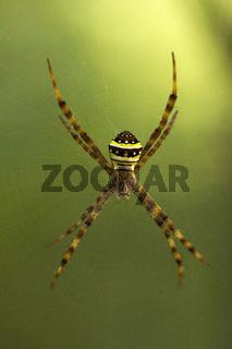 Signature Spider, Argiope sp, Araneidae, Manu,Tripura