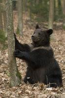 European Brown Bear * Ursus arctos *, playful adolescent, sitting on its back