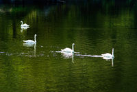 White swan swimming in pond with green reflaction