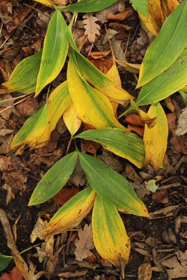 Maigloeckchen leaves in autumn colours (Convallaria majalis)