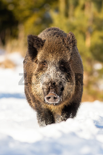 Vertical portrait of wild boar standing in snow on a sunny day in winter.