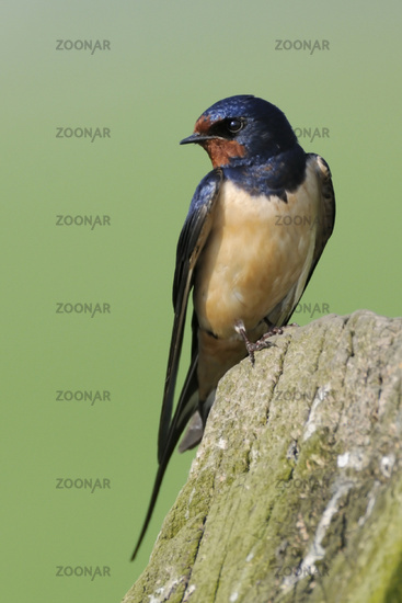 Barn Swallows * Hirundo rustica *, perched on an old wooden fencepost