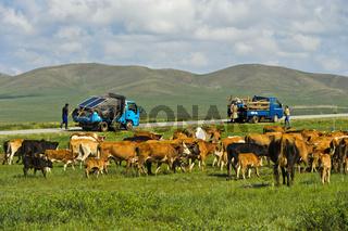 Transporttfahrzeuge mit dem Hausrat einer Nomadenfamilie und deren Kühe, Mongolei