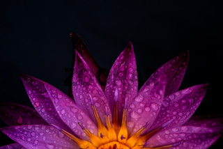 Water lily isolated on black background.