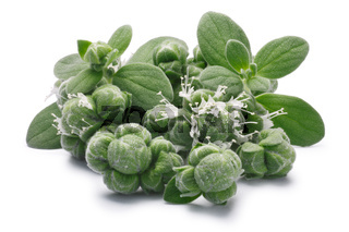 Marjoram (Origanum majorana) flowers, leaves and buds, paths