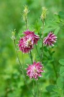 Flowers Aquilegia vulgaris var. Stellata