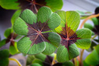 Image of lucky clover in a flowerpot