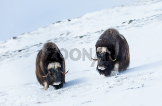 Close up of Musk oxen coming down the hill through the snow