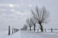 Pollarded willows ( Salix sp. ) along a little road at Bislicher Insel, Germany in winter