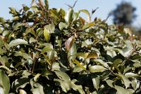 Fresh leaves of a Khat or qat bush