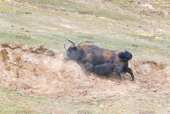 wild yak in mud bath