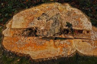 Baumstumpf nach Baumfällung