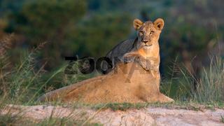 Löwin mit Jungtier im Graß der afrikanischen Savanne