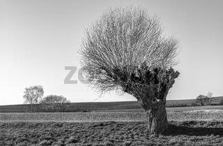 Weidenbaum bei Klein Grubnow