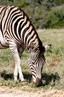 Zebra standing and eating grass