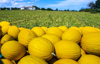Canary yellow melons from the farm.