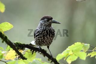Spotted Nutcracker, Eurasian nutcracker Black Forest Germany