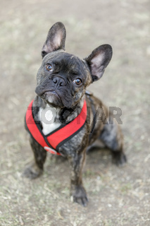 Brindle Frenchie Puppy Sitting and Looking Up