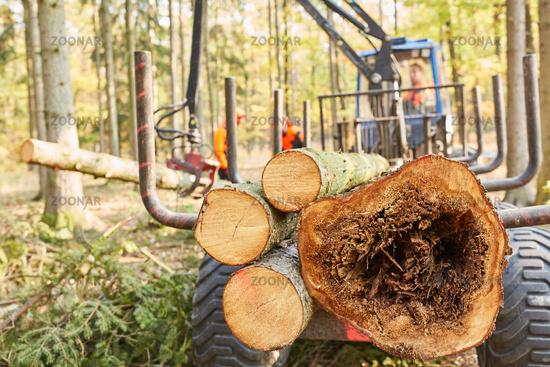 Forwarder mit Kran transportiert gefällte Bäume