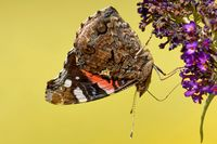 Admiral auf dem Schmetterlingsflieder