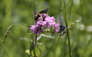 Mehlprimel (Primula farinosa)