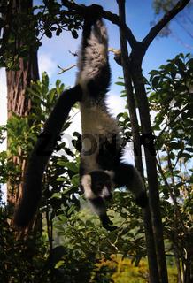 Portrait of black-and-white ruffed lemur aka Varecia variegata or Vari lemur at the tree, Atsinanana region, Madagascar