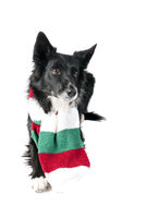 Border Collie  Dog in Holiday Christmas Scarf isolated on white