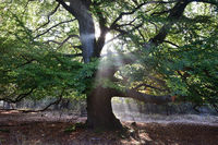 Beech in the morning light