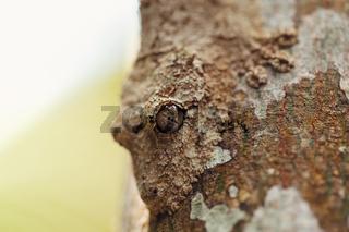 mossy leaf-tailed gecko, madagascar wildlife