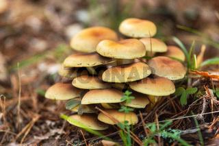 Group of beautiful mushrooms fungi, honey agarics kuehneromyces mutabilis in wild summer forest.