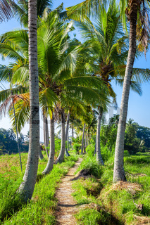 Palm trees with a path in Bali Indonesia