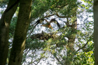 Red kite flying in front of nest with chicks