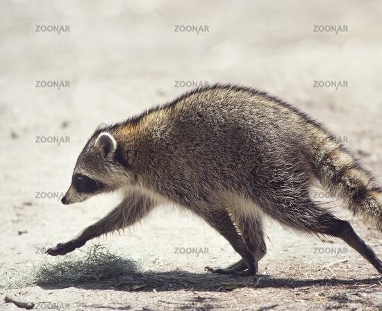 Raccoon walking in Florida park