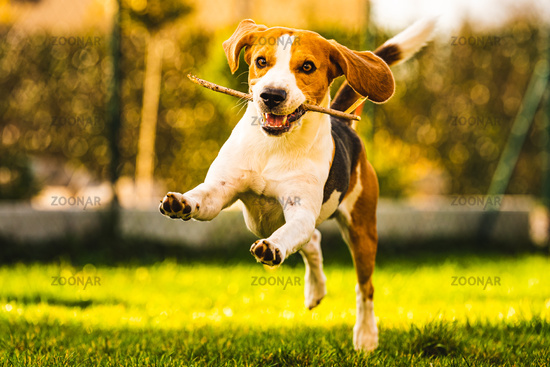 Dog Beagle with a stick on a green gras during autumn runs towards camera in garden.